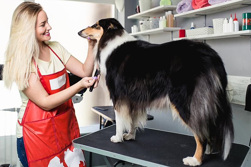 宠物美容店,可爱的,纯种犬,一个人,牧羊犬,狗,哺乳纲,女人,头发,动物