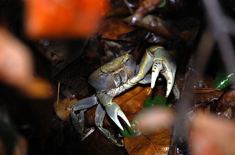 灰色,螃蟹,维罗海滩,蓝蟹,大卡曼,自然,水平画幅,无人,蓝色,大西洋