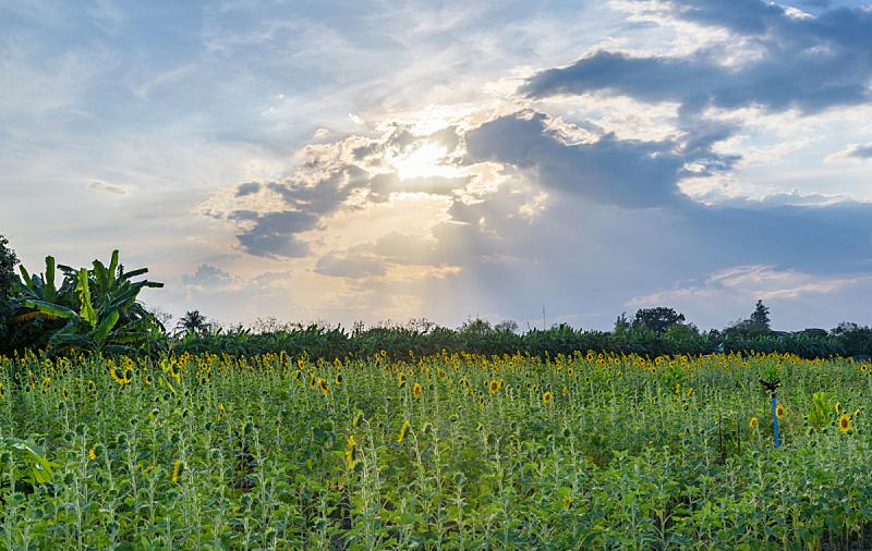 向日葵,田地,天空,自然,草地,水平画幅,无人,蓝色,巨大的,夏天