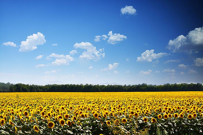 地形,田地,农业,向日葵,青绿色,夏天,天空,季节,花