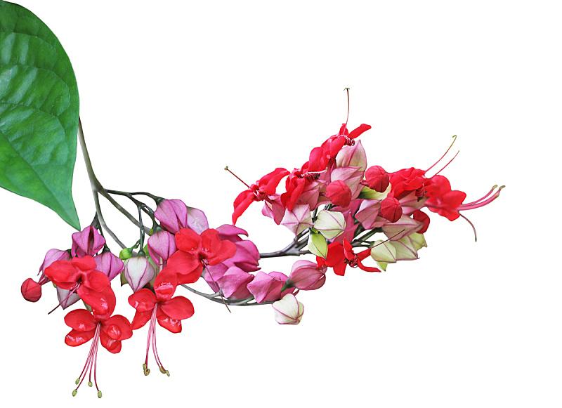 美,蓝花藤,有蔓植物,水平画幅,绿色,无人,背景分离,明亮,虎,红色