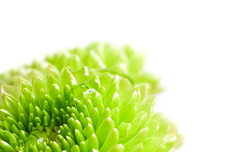 水,水滴,菊花,水平画幅,绿色,无人,色彩鲜艳,白色背景,特写,仅一朵花