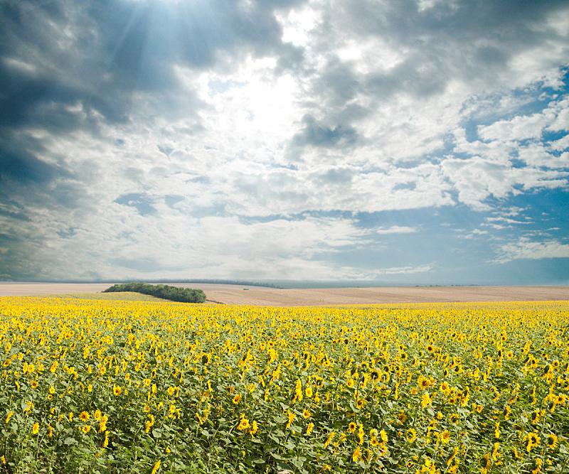 日光,向日葵,天空,状态描述,水平画幅,无人,夏天,户外,图像,农作物