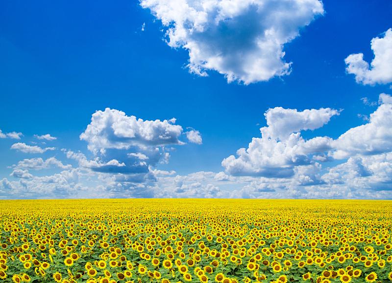 向日葵,田地,农业,自然,黄色,图像,无人,农场,户外,天空