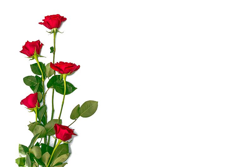 玫瑰,白色背景,清新,背景分离,情人节卡,壁纸,春天,植物,夏天,节日