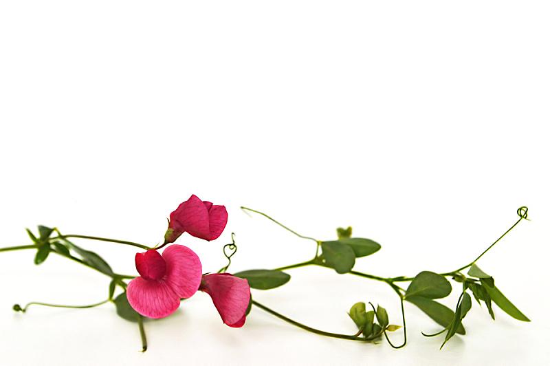 野花,分离着色,白色背景,水平画幅,绿色,无人,背景分离,野生植物,仅一朵花,白色