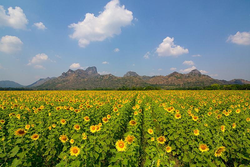 向日葵,田地,天空,早晨,夏天,明亮,橙子,人的头部,种植园,闪亮的