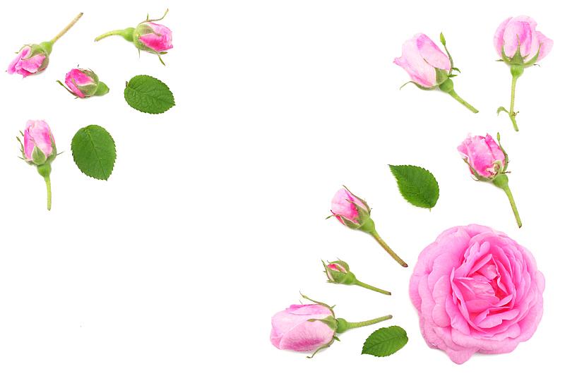 玫瑰,白色背景,粉色,分离着色,风景,周年纪念,贺卡,背景分离,纺织品,边框