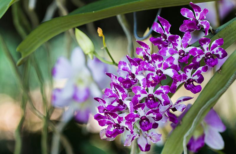兰花,水平画幅,无人,蝴蝶兰,夏天,特写,花束,植物,枝,植物学