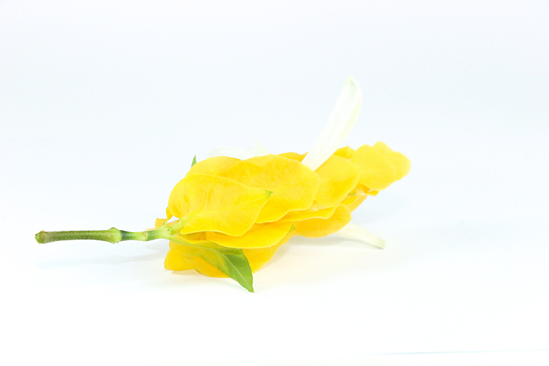 蜡烛,金色,特写,自然界的状态,泰国,春天,植物,爵床科,滕黄八叠球菌,白色