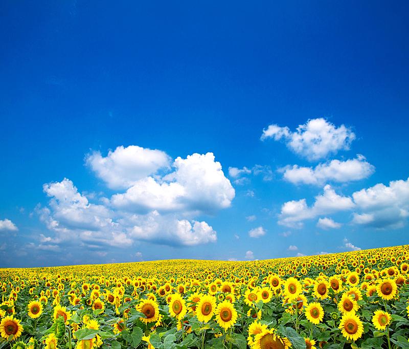 向日葵,自然,水平画幅,无人,蓝色,有机食品,夏天,户外,有机农庄,自然美