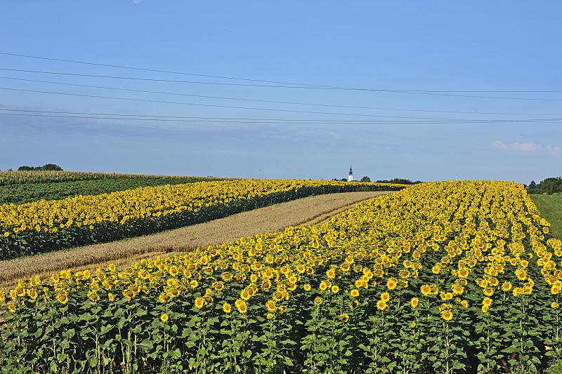 向日葵,小麦,田地,农业,大麦,清新,食品,有机农庄,农场,背景