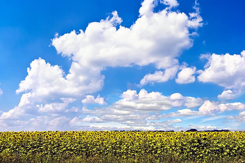 天空,田地,蓝色,背景,向日葵,美,新的,水平画幅,夏天,户外