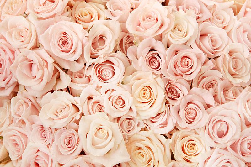 玫瑰,粉色,情人节,水平画幅,无人,浪漫,背景分离,大量物体,满画幅,背景