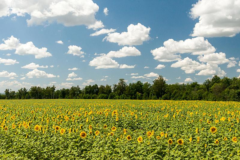 天空,蓝色,向日葵,田地,水平画幅,无人,夏天,户外,草,植物