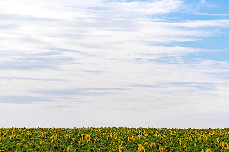 向日葵,南非,田地,真实的人,奥兰治河,长焦镜头,农业,农场,植物,夏天
