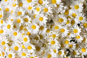 仅一朵花,甘菊花,雏菊,甘菊,花束,黄色,花瓣,花头,草地,春白菊花
