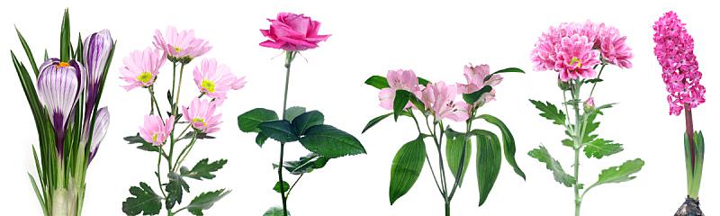 仅一朵花,粉色,水平画幅,无人,夏天,花束,白色,植物,布置,生长