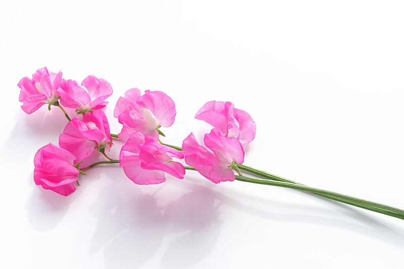 留白,粉色,香豌豆,背景,图像,自然,水平画幅,无人,白色背景,纯净