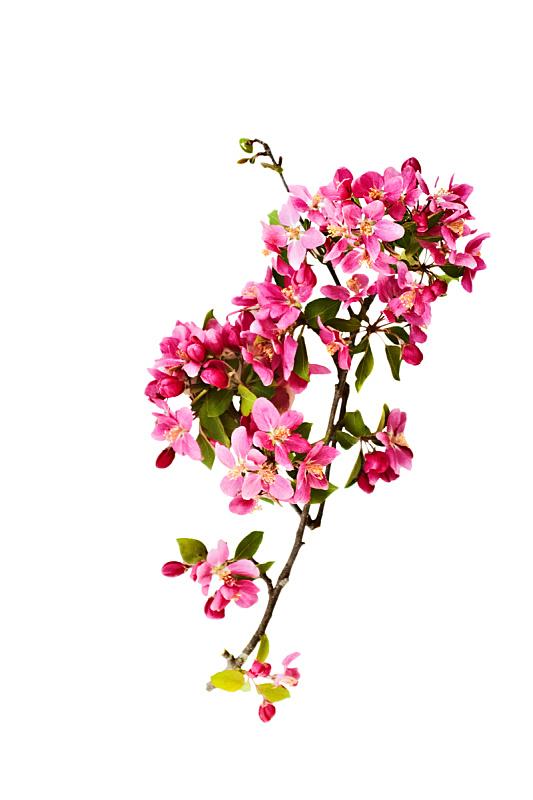 螃蟹,苹果花,自然,垂直画幅,无人,白色背景,背景分离,植物茎,花蕾,花