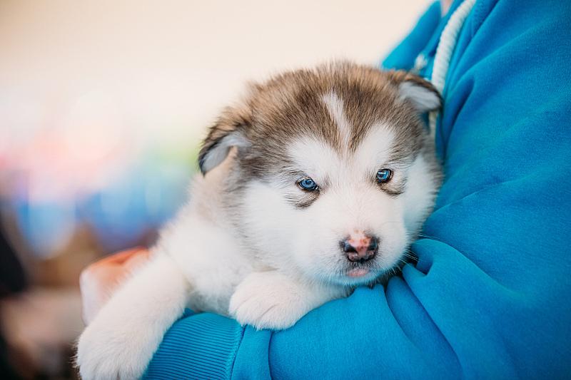 阿拉斯加雪橇犬,业主,狗,手,小狗,爱斯基摩犬,美,水平画幅,美人,爪子