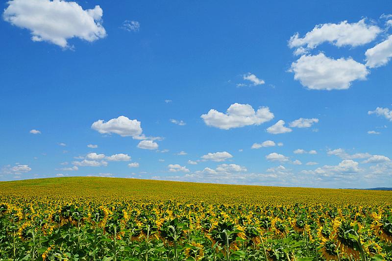 向日葵,种植园,天空,水平画幅,无人,户外,云景,单一栽培,田地,植物