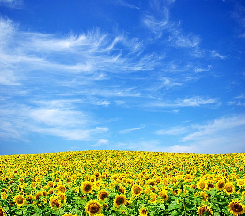 向日葵,田地,自然,天空,草地,水平画幅,地形,无人,蓝色,乌克兰
