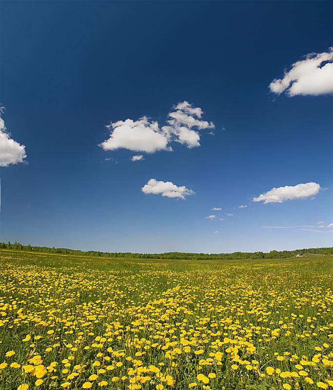 田地,黄色,蒲公英,自然,垂直画幅,天空,草地,非都市风光,绿色,无人