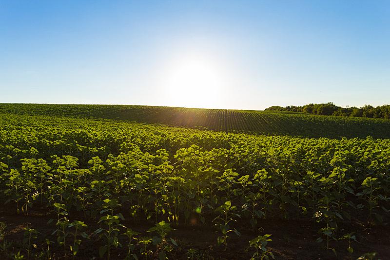 田地,向日葵,幼小动物,水平画幅,枝繁叶茂,山,无人,夏天,户外,农作物