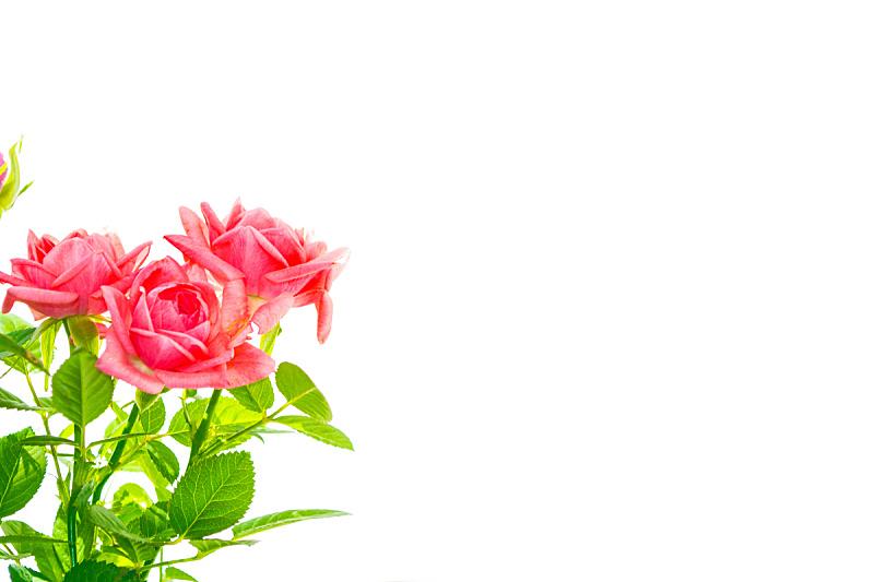 玫瑰,白色背景,清新,背景分离,壁纸,春天,植物,夏天,植物茎,礼物