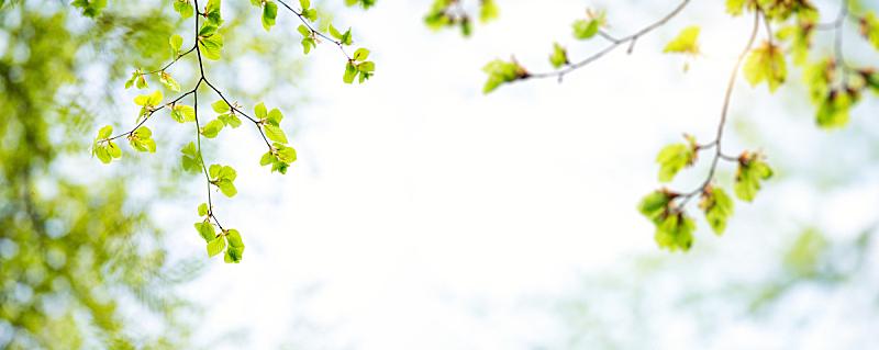 叶子,全景,春天,留白,水平画幅,枝繁叶茂,无人,山毛榉树,夏天,户外