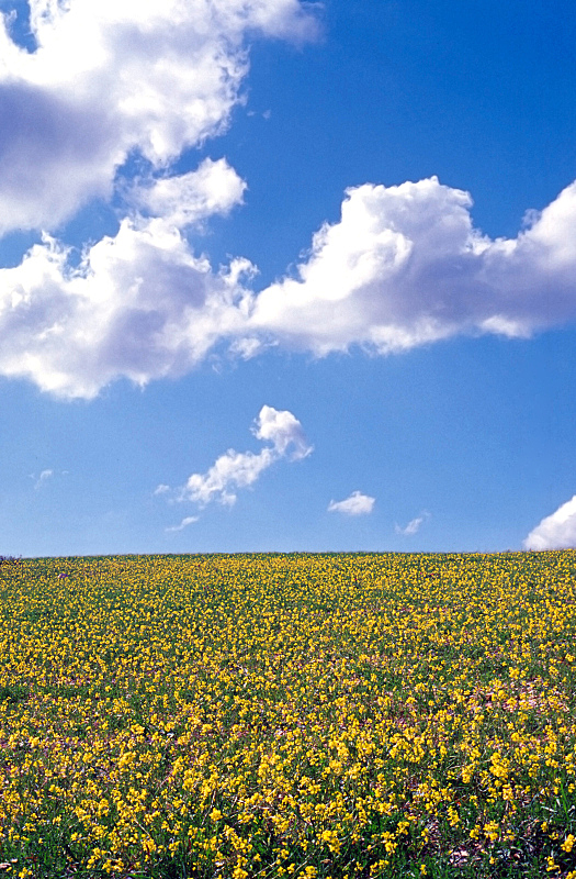 天空,仅一朵花,田地,翁布里亚大区,蓝色,黄色,意大利,垂直画幅,无人,夏天