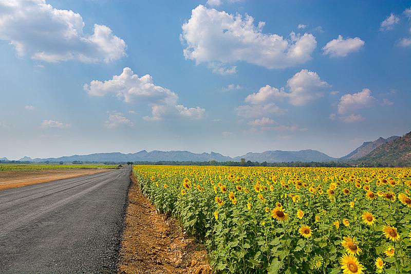 田地,地形,向日葵,天空,水平画幅,无人,工厂,户外,活力,明亮