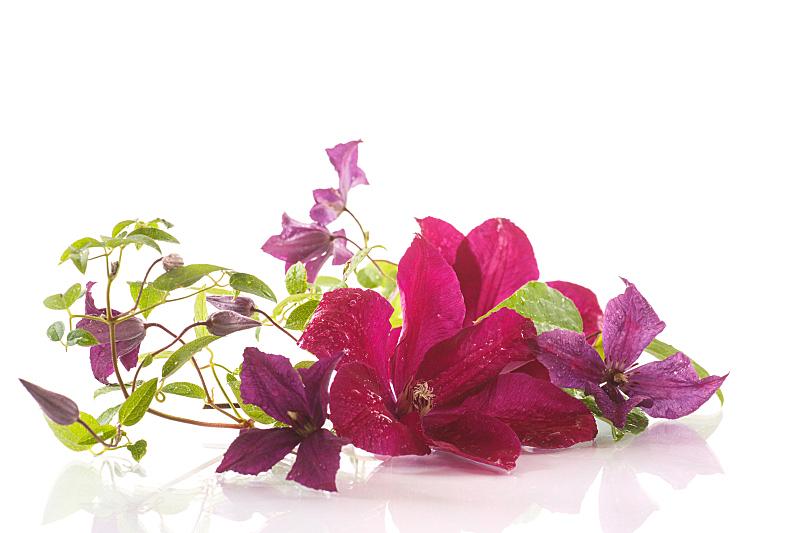 铁线莲,自然美,藤蔓植物,水平画幅,无人,夏天,特写,白色,植物,枝