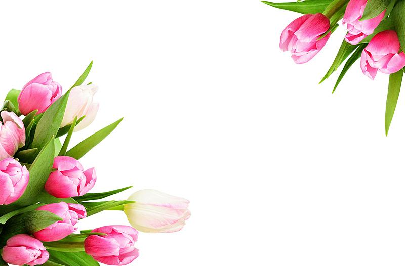 郁金香,粉色,自然,美,贺卡,留白,草地,水平画幅,无人,背景分离