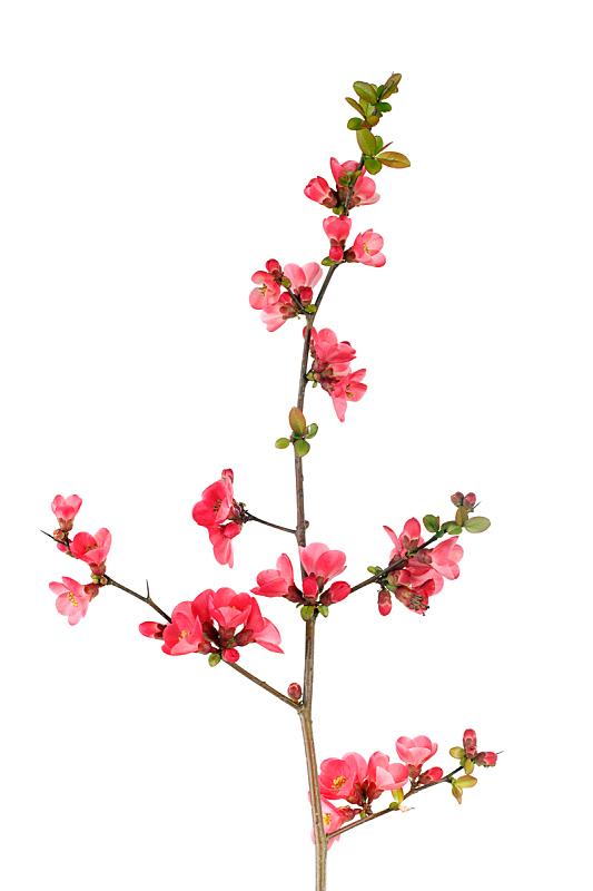 花朵,果树,皱皮木瓜,温柏,垂直画幅,茶花,无人,植物,李子,枝