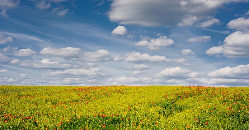 油菜花,植物,蓝色,田地,云,天空,水平画幅,无人,夏天,户外
