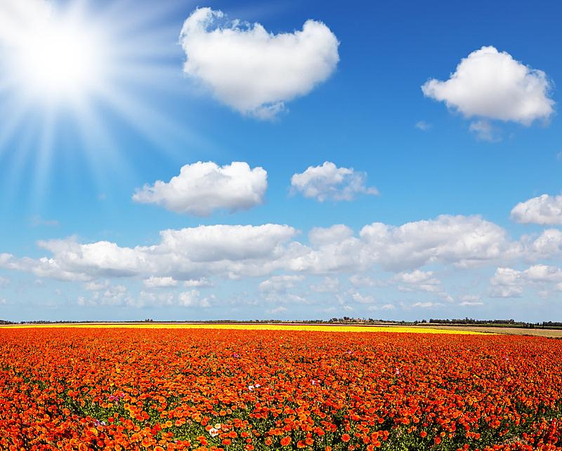 田地,太阳,色彩鲜艳,毛莨科,天空,美,水平画幅,户外,毛莨属植物,地平线