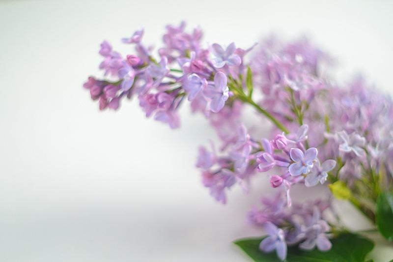 丁香花,美,留白,水平画幅,特写,植物,雨,彩色图片,光,柔和