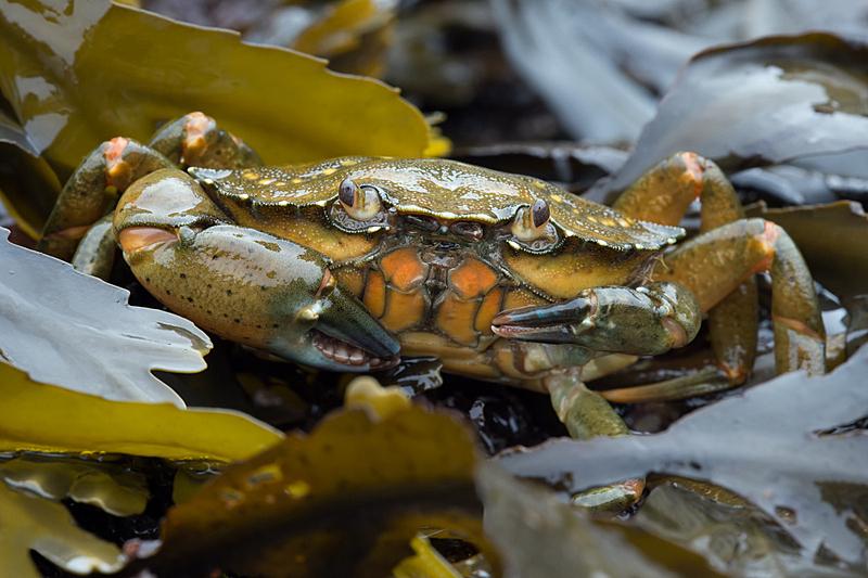 条纹食草蟹,绿色,动物的外骨骼,碳酸盐矿物,自然,野生动物,水平画幅,小的,生物,户外