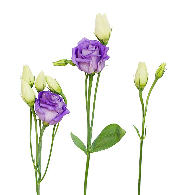 lisianthus,花蕾,紫色,垂直画幅,美,留白,无人,夏天,组物体,明亮