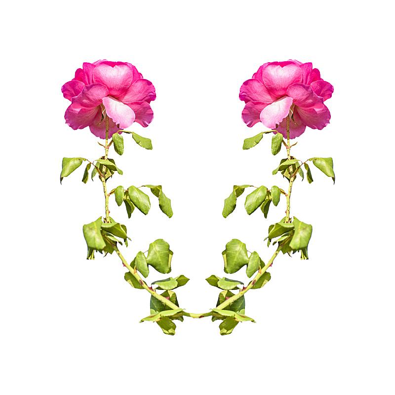 花环,玫瑰,自然,美,贺卡,边框,无人,乌拉圭,白色背景,请柬