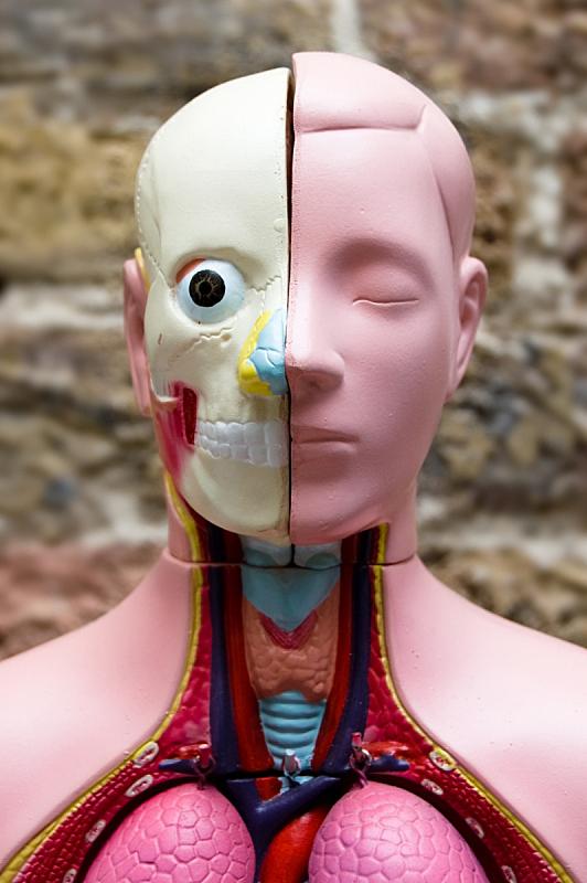 解剖模型,垂直画幅,喉咙,人类消化系统,人,科学,健康保健,生物学