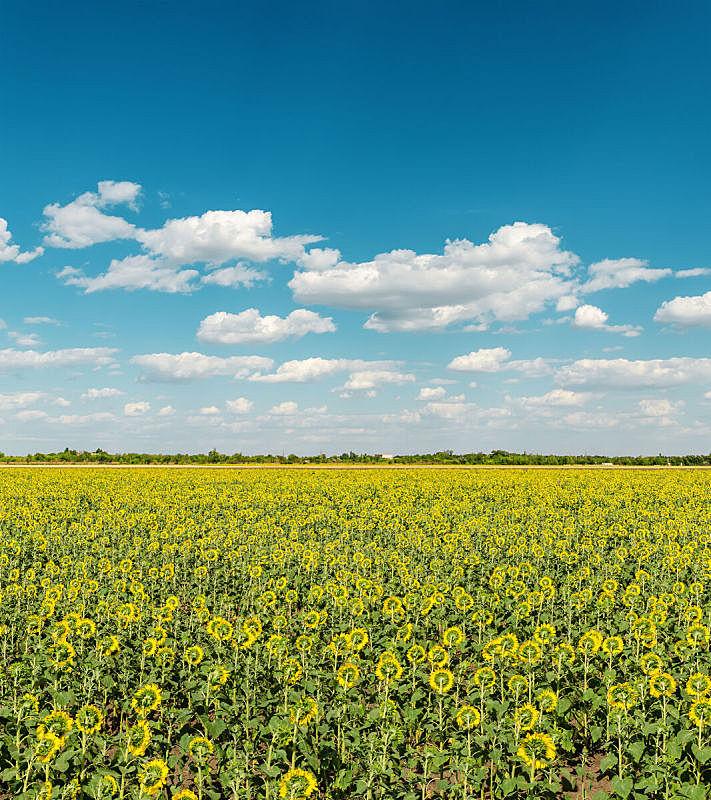 田地,云,向日葵,垂直画幅,天空,无人,夏天,户外,农作物,光