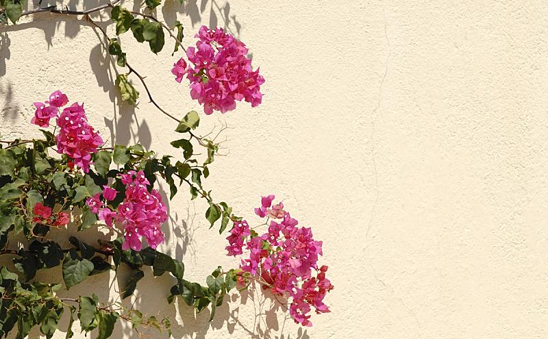 三角梅,自然,美,水平画幅,墙,夏天,仅一朵花,自然美,红色,前面