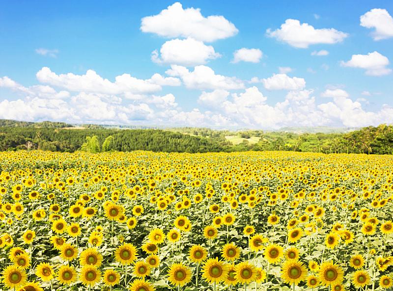 自然,向日葵,背景,田地,天空,蓝色,水平画幅,快乐,山,黄色