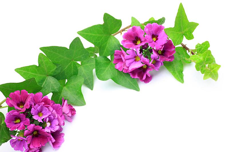樱草花,常春藤,自然,植物,水平画幅,无人,白色背景,粉色,叶子,摄影