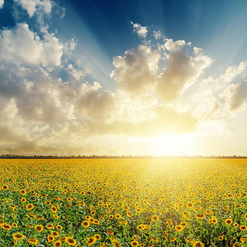 向日葵,云,田地,在上面,自然,草地,天堂,无人,蓝色,全景