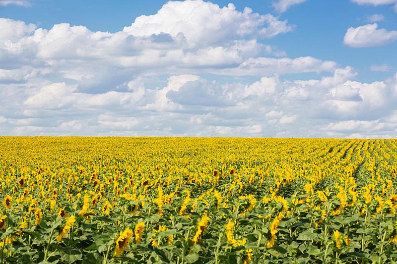 向日葵,天空,蓝色,田地,巨大的,云,农业,有机农庄,农场,植物