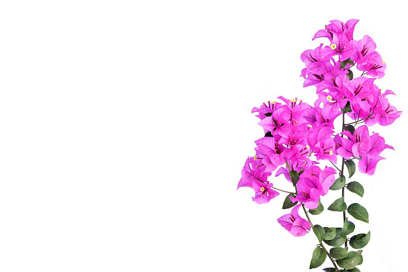 三角梅,粉色,白色背景,分离着色,自然,太空,贺卡,水平画幅,无人,夏天